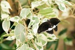 Papilio Polytes tropikalny motyli obsiadanie na zielonych liściach Obrazy Stock