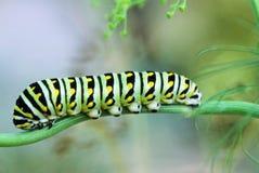 Papilio Polyxenes, черная личинка Swallowtail стоковая фотография