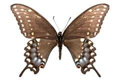 Papilio polyxenes Royalty Free Stock Photos