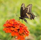 Papilio Polyxenes asterius, östlig svart Swallowtail fjäril Royaltyfri Fotografi