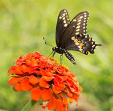 Papilio Polyxenes asterius, Eastern Black Swallowtail butterfly Royalty Free Stock Photography