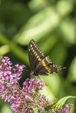 Papilio polyxenes, coda di rondine nera orientale Immagini Stock Libere da Diritti