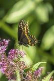 Papilio polyxenes, coda di rondine nera orientale Fotografia Stock