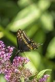 Papilio polyxenes, coda di rondine nera orientale Immagine Stock Libera da Diritti