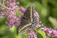 Papilio polyxenes, coda di rondine nera orientale Fotografia Stock Libera da Diritti