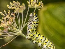 Papilio polyxenes, eastern black swallowtail caterpillar. Papilio polyxenes, the eastern black swallowtail, American swallowtail or parsnip swallowtail, is a royalty free stock photography