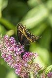 Papilio polyxenes, eastern black swallowtail Stock Photos