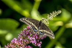 Papilio polyxenes, oostelijke zwarte swallowtail stock afbeelding