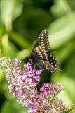 Papilio polyxenes, oostelijke zwarte swallowtail stock foto