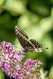 Papilio polyxenes, oostelijke zwarte swallowtail stock afbeeldingen