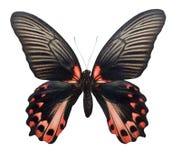 Papilio rumanzovia lizenzfreie stockbilder