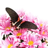 Papilio rumanzovia Royalty Free Stock Photo