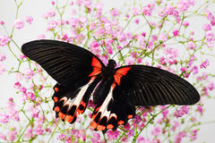 Papilio rumanzovia. On the flowers stock photos
