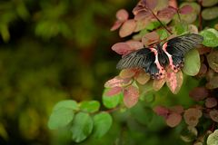 Papilio rumanzovia, beautiful black pink butterfly, Scarlet Mormon, Big and colourful insect on the green branch. Butterfly in. Nature forest habitat, Indonesia stock images