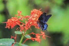 Papilio rumanzovia. Stock Photos