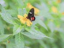 Papilio rumanzovia. Stock Photography