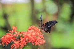 Papilio rumanzovia. Royalty Free Stock Photo