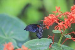 Papilio rumanzovia. Stock Photo
