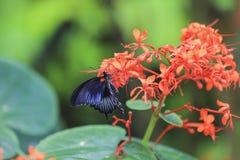 Papilio rumanzovia. Royalty Free Stock Photography