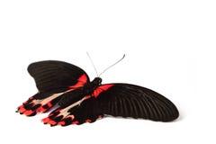 Papilio rumanzovia Royalty Free Stock Photography