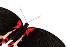 Papilio rumanzovia Stock Photography