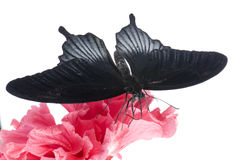 Papilio rumanzovia (male) butterfly Royalty Free Stock Photo