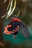 Papilio rumanzovia, Scarlet Mormon Royalty Free Stock Images