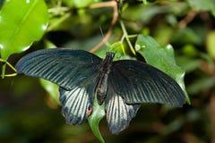 Papilio rumanzovia, Scarlet Mormon Stock Image