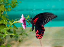 Papilio rumanzovia, Scarlet Mormon Stock Photo