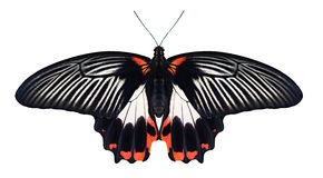 Papilio-rumanzovia Schmetterling auf weißem Hintergrund stockbilder