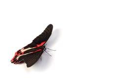 Papilio rumanzovia Royalty Free Stock Photo