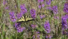 Papilio rutulus. Or Western Tiger Swallowtail stock image