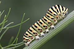papilio s machaon гусеницы Стоковые Фотографии RF