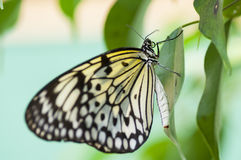 Papilio spp butterfly Stock Photo