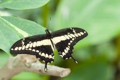 Papilio spp motyli Obrazy Royalty Free
