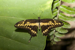 Papilio thoas蝴蝶被栖息在绿色 免版税库存照片