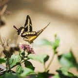 Papilio thoas på blossom_Koenigsen-Schwalbenschwanz arkivfoto