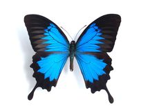 Papilio ulysses. On the white background stock photo