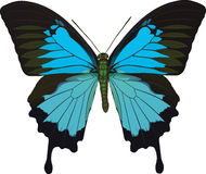 papilio ulysses royaltyfri illustrationer