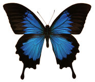 Papilio Ulysses Butterfly. An isolated shot of a Papilio Ulysses butterfly Stock Photos