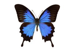 Papilio ulysses (butterfly). On white Stock Photography