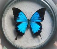 Papilio ulysses stock foto