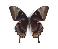 Papilio ulysses telegonus (underside) Stock Photo