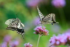 Papilio xuthus Royalty Free Stock Photo