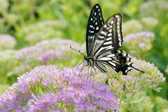 Papilio xuthus 库存照片