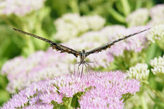 Papilio-xuthus Stockfoto