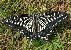 蝴蝶(Papilio xuthus) 24 免版税库存图片
