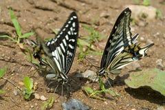 蝴蝶(Papilio xuthus) 1 免版税库存图片