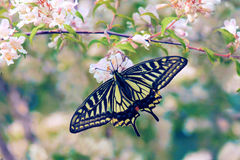 Papilio xuthus 免版税库存照片
