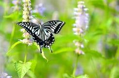 Papilio xuthus linnaeus 库存照片